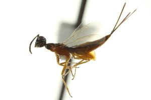 (Eupelmus linearis - CNCHYM 012103)  @14 [ ] CreativeCommons - Attribution Non-Commercial Share-Alike (2012) CNC/BIO Photography Group Centre for Biodiversity Genomics
