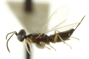 (Eupelmus rubicola - CNCHYM 015141)  @11 [ ] CreativeCommons - Attribution Non-Commercial Share-Alike (2012) CNC/BIO Photography Group Centre for Biodiversity Genomics
