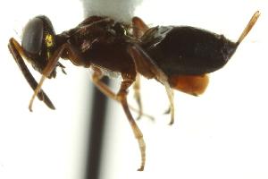 (Eupelmus dryorhizonexi - CNCHYM 015174)  @13 [ ] CreativeCommons - Attribution Non-Commercial Share-Alike (2012) CNC/BIO Photography Group Centre for Biodiversity Genomics