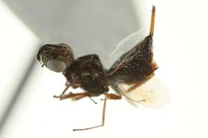 (Eupelmus orientalis - CNCHYM 015191)  @11 [ ] CreativeCommons - Attribution Non-Commercial Share-Alike (2012) CNC/BIO Photography Group Centre for Biodiversity Genomics