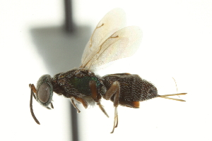 (Eupelmus vuilleti - CNCHYM 015228)  @11 [ ] CreativeCommons - Attribution Non-Commercial Share-Alike (2012) CNC/BIO Photography Group Centre for Biodiversity Genomics