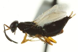 (Eupelmus vindex - CNCHYM 015242)  @14 [ ] CreativeCommons - Attribution Non-Commercial Share-Alike (2012) CNC/BIO Photography Group Centre for Biodiversity Genomics