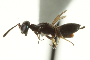 (Eupelmus falcatus - CNCHYM 015275)  @13 [ ] CreativeCommons - Attribution Non-Commercial Share-Alike (2012) CNC/BIO Photography Group Centre for Biodiversity Genomics