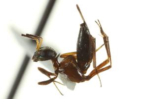 (Eupelmus longicornis - CNCHYM 015284)  @14 [ ] CreativeCommons - Attribution Non-Commercial Share-Alike (2012) CNC/BIO Photography Group Centre for Biodiversity Genomics