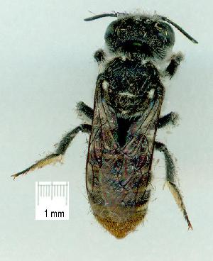 (Megachile turneri - gvc12162-1L)  @13 [ ] Copyright (2004) Graeme V. Cocks Unspecified