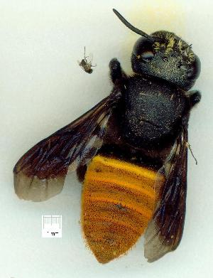 (Megachile mystaceana - gvc15762-1L)  @13 [ ] CreativeCommons - Attribution Non-Commercial (2010) Graeme V. Cocks Research Collection of Graeme V. Cocks