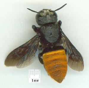 (Megachile mystaceana - gvc15862-1L)  @13 [ ] CreativeCommons - Attribution Non-Commercial (2010) Graeme V. Cocks Research Collection of Graeme V. Cocks