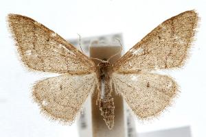 (Idaea productata - IAWAZ-0499)  @15 [ ] CreativeCommons - Attribution Non-Commercial Share-Alike (2009) CBG Photography Group Centre for Biodiversity Genomics