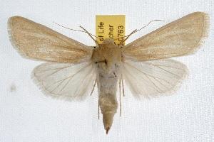 (Copablepharon mustelini - IAWAZ-0763)  @15 [ ] CreativeCommons - Attribution Non-Commercial Share-Alike (2009) CBG Photography Group Centre for Biodiversity Genomics