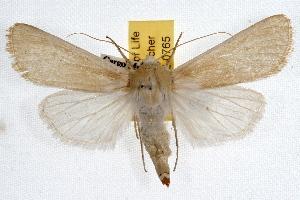 (Copablepharon mustelini - IAWAZ-0765)  @15 [ ] CreativeCommons - Attribution Non-Commercial Share-Alike (2009) CBG Photography Group Centre for Biodiversity Genomics