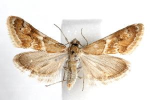 (Noctueliopsis bububattalis - IAWAZ-0454.2)  @15 [ ] CreativeCommons - Attribution Non-Commercial Share-Alike (2009) CBG Photography Group Centre for Biodiversity Genomics