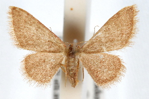 (Idaea eremiata - IAWAZ-0579.2)  @15 [ ] CreativeCommons - Attribution Non-Commercial Share-Alike (2009) CBG Photography Group Centre for Biodiversity Genomics