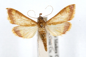 (Pyrausta pseudonythesalis - IAWAZ-0599)  @15 [ ] CreativeCommons - Attribution Non-Commercial Share-Alike (2009) CBG Photography Group Centre for Biodiversity Genomics