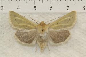 (Copablepharon viridisparsa - IAWAZ-0822)  @15 [ ] Unspecified (default): All Rights Reserved  Unspecified Unspecified