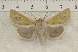 (Copablepharon viridisparsa - IAWAZ-0823)  @15 [ ] Unspecified (default): All Rights Reserved  Unspecified Unspecified
