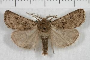 (Spodoptera hipparis - IAWAZ-1433)  @15 [ ] CreativeCommons - Attribution Non-Commercial Share-Alike (2011) Ian Watkinson Arizona Western College