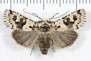 (Lacinipolia consimilis - IAWAZ-1477)  @14 [ ] CreativeCommons - Attribution Non-Commercial Share-Alike (2011) Ian Watkinson Arizona Western College