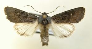 (Aporophyla nigra - AOC Lep 00131)  @15 [ ] Copyright (2014) Dr. Antonio S. Ortiz Universidad de Murcia