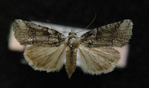 (Cryphia ravula - AOC Lep 00143)  @14 [ ] Copyright (2014) Dr. Antonio S. Ortiz Universidad de Murcia