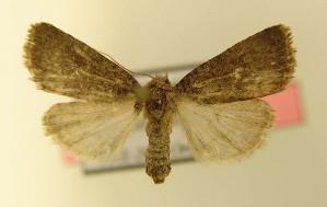 (Caradrina germainii - AOC Lep 00161)  @14 [ ] Copyright (2014) Dr. Antonio S. Ortiz Universidad de Murcia