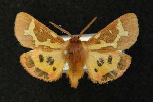 (Hyphoraia dejeani - AOC Lep 00642)  @13 [ ] Copyright (2014) Dr. Antonio S. Ortiz Universidad de Murcia