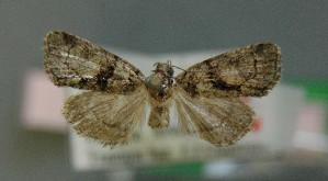 (Cryphia pallida - AOC Lep 00728)  @14 [ ] Copyright (2014) Dr. Antonio S. Ortiz Universidad de Murcia
