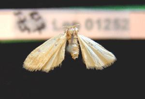(Pelosia plumosa - AOC Lep 01004)  @11 [ ] Copyright (2014) Dr. Antonio S. Ortiz Universidad de Murcia