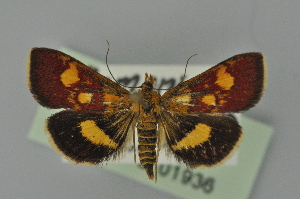 (Pyrausta falcatalis - BC MTD 01936)  @14 [ ] Unspecified (default): All Rights Reserved (2012) M. Nuss, Senckenberg Museum of Zoology, Dresden Senckenberg Museum of Zoology, Dresden