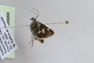 (Eurrhypis guttulalis - BC MTD Lep 00966)  @12 [ ] CreativeCommons - Attribution Non-Commercial (2010) Senckenberg Museum of Zoology, Dresden Senckenberg Museum of Zoology, Dresden
