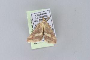(Anthophilopsis lepidalis - BC MTD Lep 00986)  @12 [ ] CreativeCommons - Attribution Non-Commercial (2010) Senckenberg Museum of Zoology, Dresden Senckenberg Museum of Zoology, Dresden