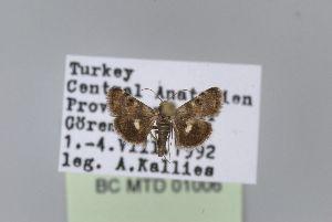 (Titanio venustalis - BC MTD Lep 01006)  @11 [ ] CreativeCommons - Attribution Non-Commercial (2010) Senckenberg Museum of Zoology, Dresden Senckenberg Museum of Zoology, Dresden