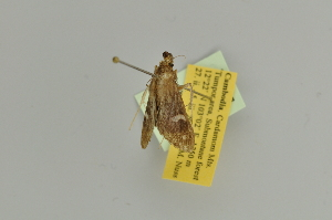 (Pleuroptya quadrimaculatis - BC MTD Lep 385)  @12 [ ] CreativeCommons - Attribution Non-Commercial (2010) Matthias Nuss Senckenberg Museum of Zoology, Dresden