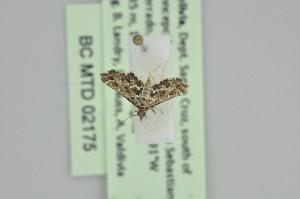 (Diasemiopsis leodocusalis - BC MTD 02175)  @12 [ ] CreativeCommons - Attribution Non-Commercial (2012) M. Nuss, Senckenberg Museum of Zoology, Dresden Senckenberg Museum of Zoology, Dresden