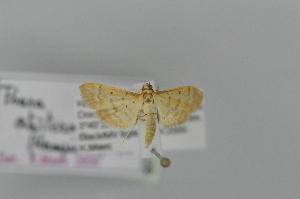 (Psara atritermina - BC MTD 02497)  @11 [ ] Unspecified (default): All Rights Reserved (2012) M. Nuss, Senckenberg Museum of Zoology, Dresden Senckenberg Museum of Zoology, Dresden