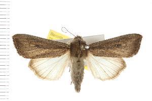 (Leucania polysticha - IM08-0366)  @15 [ ] CreativeCommons - Attribution Non-Commercial Share-Alike (2008) CBG Photography Group Centre for Biodiversity Genomics