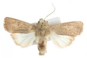 (Leucania abdominalis - IM08-1990)  @15 [ ] CreativeCommons - Attribution Non-Commercial Share-Alike (2011) CBG Photography Group Centre for Biodiversity Genomics