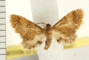 (Idaea trypheropa - IM08-2379)  @15 [ ] CreativeCommons - Attribution Non-Commercial Share-Alike (2008) CBG Photography Group Centre for Biodiversity Genomics