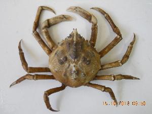 (Epialtidae - UNMdP-ZINV-087)  @15 [ ] CreativeCommons - Attribution Non-Commercial Share-Alike (2012) Unspecified Laboratorio de Zoología de Invertebrados