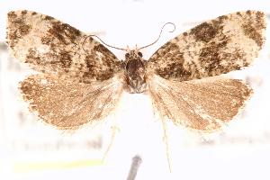 (Olethreutes deprecatoria - CCDB-28544-C06)  @15 [ ] CreativeCommons - Attribution Non-Commercial Share-Alike (2015) CBG Photography Group Centre for Biodiversity Genomics