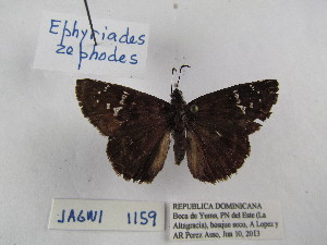 (Ephyriades - Wi-JAG-1159)  @14 [ ] No Rights Reserved (2015) Julio A Genaro Caribbean Natural History Group