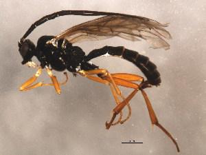 (Cylloceriinae - 10PROBE-28547)  @14 [ ] CC-0 (2011) CBG Photography Group Centre for Biodiversity Genomics