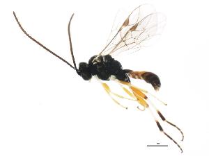 (Ctenopelmatinae - 10PROBE-28772)  @15 [ ] CC-0 (2011) CBG Photography Group Centre for Biodiversity Genomics