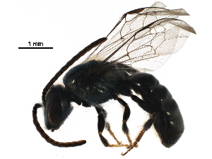 (Lasioglossum umbripenne - BIOUG29884-G01)  @16 [ ] CreativeCommons - Attribution Non-Commercial Share-Alike (2016) CBG Photography Group Centre for Biodiversity Genomics