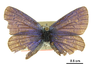 (Plebejus anna spiekeri - BIOUG36855-C07)  @11 [ ] CreativeCommons - Attribution Non-Commercial Share-Alike (2017) Jacopo D'Ercole Centre for Biodiversity Genomics