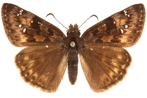 (Erynnis horatius - BIOUG36861-D08)  @15 [ ] CreativeCommons - Attribution Non-Commercial Share-Alike (2018) CBG Photography Group Centre for Biodiversity Genomics