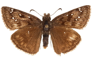 (Erynnis meridianus - BIOUG36861-E11)  @15 [ ] CreativeCommons - Attribution Non-Commercial Share-Alike (2018) CBG Photography Group Centre for Biodiversity Genomics