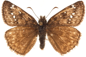 (Erynnis propertius - BIOUG36861-G07)  @15 [ ] CreativeCommons - Attribution Non-Commercial Share-Alike (2018) CBG Photography Group Centre for Biodiversity Genomics