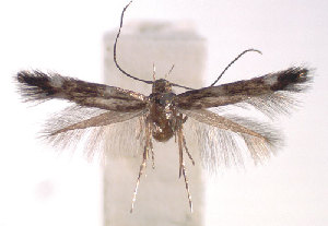 (Elachista planca - DP09134)  @14 [ ] Copyright (2010) Jurate de Prins Research Collection of W. and J. De Prins