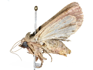 (Marilopteryx BioLep8837 - BIOUG29614-G04)  @14 [ ] CreativeCommons - Attribution Non-Commercial Share-Alike (2016) CBG Photography Group Centre for Biodiversity Genomics
