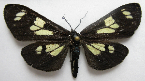 (Gnophaela latipennis - BIOUG06722-D06)  @14 [ ] CreativeCommons - Attribution Non-Commercial Share-Alike (2012) CBG Photography Group Centre for Biodiversity Genomics